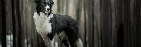 Pies, Border collie, Las, Drzewa
